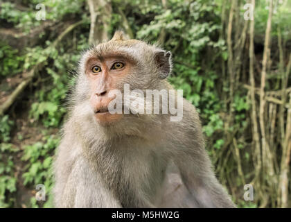 Portrait of a Crab-eating macaque (Macaca fascicularis), Sacred Monkey Forest Sanctuary, Ubud, Bali - Stock Photo