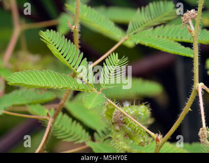 Sensitive Plant - Mimosa pudica  Touch sensitive leaves Native of central America, widely cultivated - Stock Photo