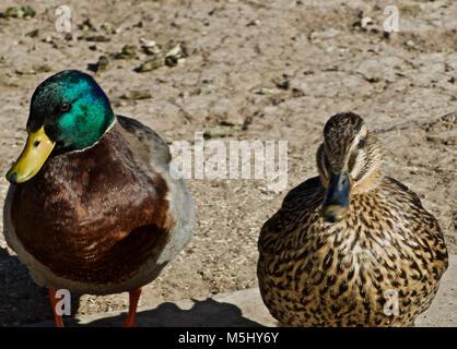 mallard Duck Pair at Rest Canyon, Texas - Stock Photo
