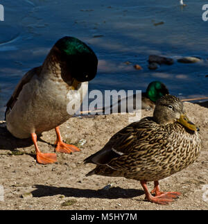 mallard Duck Pair at Rest Canyon, Texas - Stock Photo