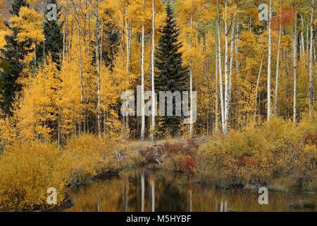 Yellow aspen during the foliage season in Colorado - Stock Photo