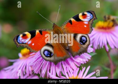Tagpfauenauge, Pfauenauge (Aglais io) auf Blüte von Aster, Bayern, Deutschland Stock Photo