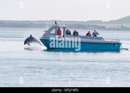 wild dolphin breaching in front of a boat while hunting for migrating atlantic salmon. - Stock Photo