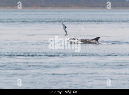 Wild dolphin in playful mood while hunting for migrating Atlantic Scottish salmon in the Moray Firth in the Scottish - Stock Photo