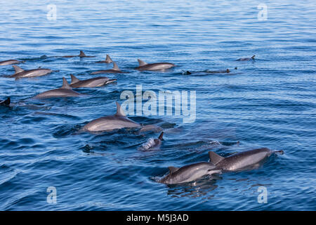 Mauritius, Indian Ocean, bottlenose dolphins, Tursiops truncatus - Stock Photo