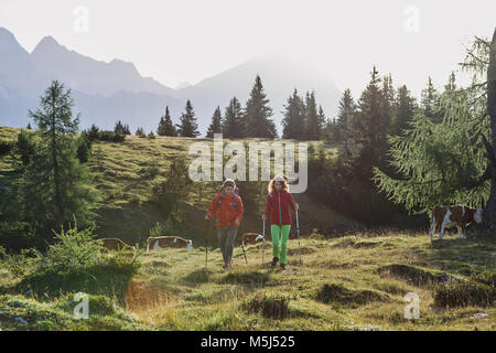 Austria, Tyrol, Mieming Plateau, hikers walking on alpine meadow with cows - Stock Photo
