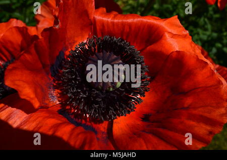 Stunning ornamental orange poppies bloom in spring and early summer. - Stock Photo