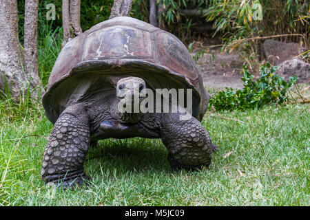 The Aldabra giant tortoise, from the islands of the Aldabra Atoll in the Seychelles, is one of the largest tortoises - Stock Photo