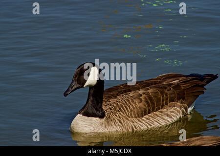 Canada Goose at Lindsey Park Public Fishing Lake, Canyon, Texas - Stock Photo