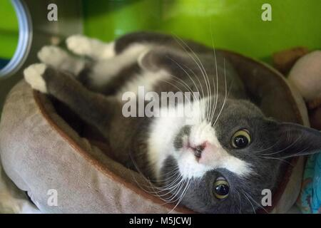 A cat waits to be adopted at the local animal shelter. - Stock Photo
