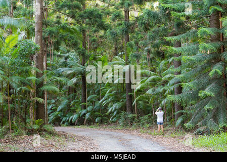 A person standing on a dirt road photographing tall Hoop Pine Trees and Bangalow Palms near The Pines Picnic Area - Stock Photo