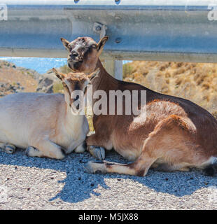 Two goats lying next to each other on the street in Greece - Stock Photo