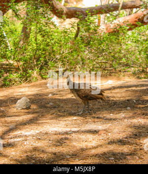 Peacock baby outside in a park Plaka Forest, Kos, Greece - Stock Photo