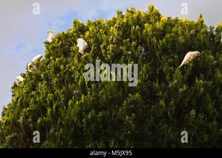 Little Corella which are Australian native parrots,parrot, feeding on top of a tree, against a cloudy sky. - Stock Photo