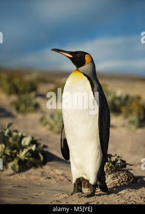 Close up of a King penguin on a sandy beach, summer in Falkland islands. - Stock Photo