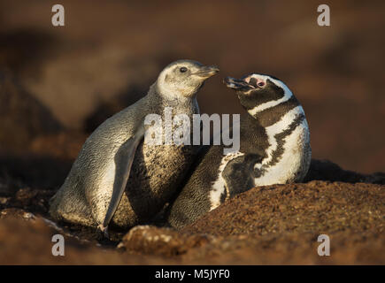 Close up of a Magellanic penguin (Spheniscus magellanicus) with a chick by a burrow, summer in Falkland islands. - Stock Photo