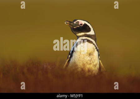 Close up of an adult Magellanic penguin on a sunny afternoon, Falkland islands. - Stock Photo