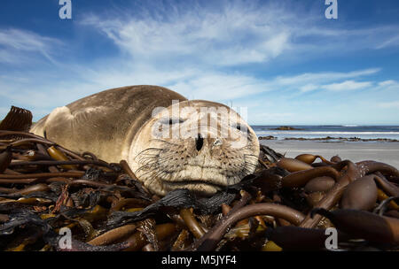 Close up of a young Southern Elephant seal sleeping on a summer day on a sandy beach, Falkland islands. - Stock Photo