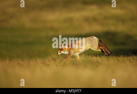 Red fox running along the field in the evening, summer in UK. - Stock Photo