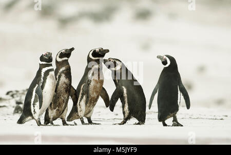 Magellanic penguins heading out to sea for fishing on a sandy beach in Falkland islands. - Stock Photo