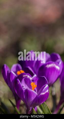 Purple flowering Crocus showing orange stamen  in woodland Shepperton Surrey, U.K. - Stock Photo