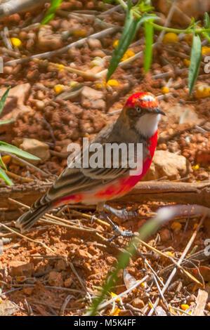 Crimson Chat, Epthianura tricolor at Alice Springs, NT, Australia - Stock Photo