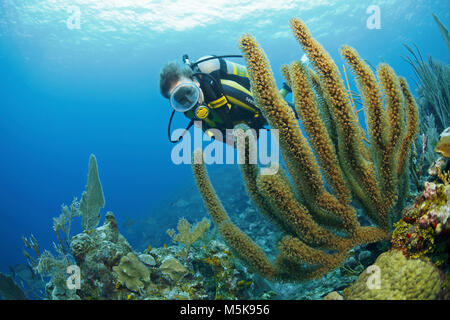 Scuba diver at a giant slit-pore sea rod (Plexaurella nutans), caribbean coral reef at Palmetto Bay, Roatan island, - Stock Photo