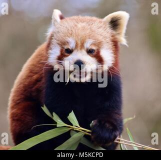 The red panda (Ailurus fulgens), also called the red bear-cat, is a mammal native to the eastern Himalayas and southwestern - Stock Photo