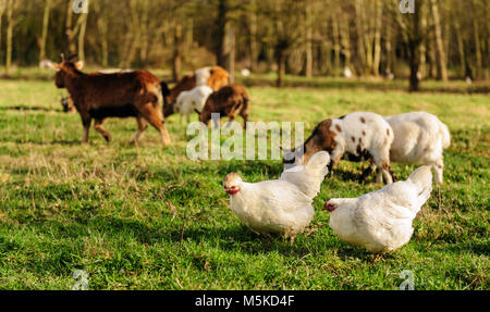 Chickens and Goats in a Field - Stock Photo