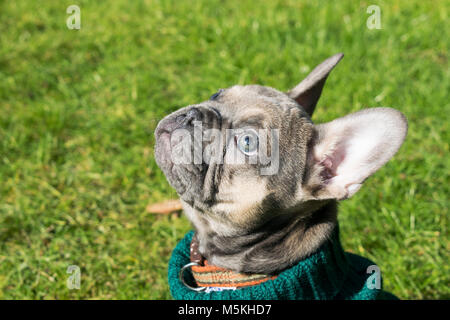 French Bulldog Pup wearing a jumper - taken in the sun in the garden ( Blue - Sable ) - Stock Photo