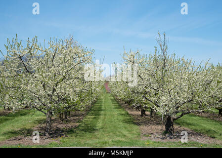 Fruit trees in blossom in an orchard in Niagara on the Lake - Stock Photo