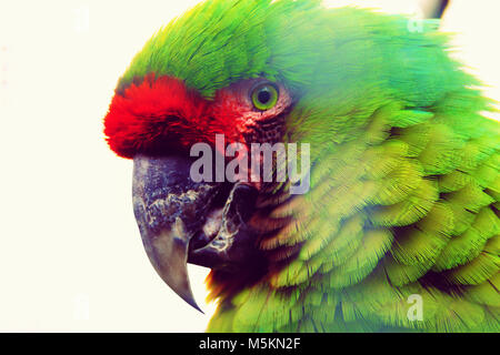 The military macaw (Ara militaris) is a large parrot and a medium-sized macaw. - Stock Photo
