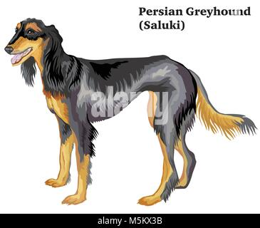 Portrait of standing in profile dog  Persian Greyhound (Saluki), vector colorful illustration isolated on white - Stock Photo
