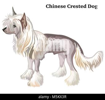 Portrait of standing in profile Chinese Crested Dog, vector colorful illustration isolated on white background - Stock Photo