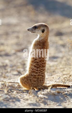 Alert meerkat (Suricata suricatta) standing on guard, Kalahari desert, South Africa - Stock Photo