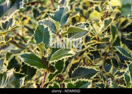 Ilex aquifolium 'Argentea Marginata' - Stock Photo