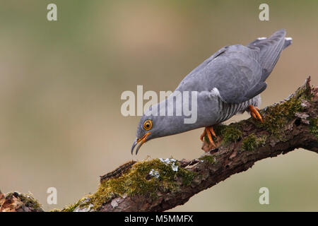 CUCKOO (Cuculus canorus) UK. - Stock Photo