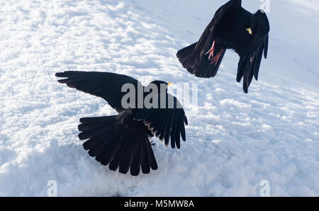 Two alpine choughs (Pyrrhocorax graculus) fighting for food in the snow during winter in Switzerland. - Stock Photo