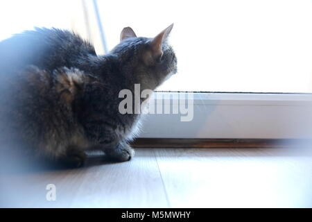 A cat is an animal that always walks its own paths and it does not matter whether it is a pure rooster or an ordinary - Stock Photo