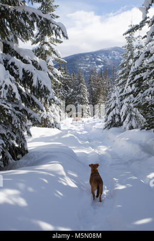 A red, mixed breed mountain dog, waiting for the loader coming up the mountain clearing the snow covered road, in Sanders County, Montana.