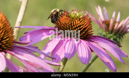 A Bumble Bee on a pinkish lavender flower collecting nectar. - Stock Photo