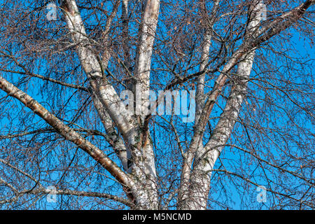 SILVER BIRCH TREE BETULA PENDULA TRUNK AND BRANCHES IN WINTER WITH SILVER BARK AND BROWN CATKINS - Stock Photo
