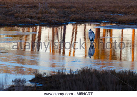 A great blue heron (Ardea herodias) hunts in a thawed-out portion of a pond in the Black Duck Marsh in the Chincoteague - Stock Photo