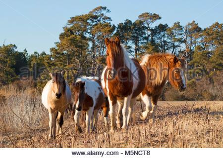 Chincoteague ponies (Equus caballus), also known as Assateague horses, walk through a marsh on Assateague Island - Stock Photo