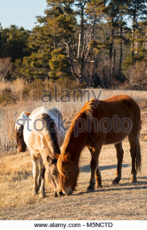 Chincoteague ponies (Equus caballus), also known as Assateague horses, feed together on Assateague Island in the - Stock Photo