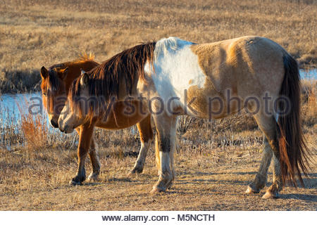 A pair of Chincoteague ponies (Equus caballus), also known as Assateague horses, nuzzle on Assateague Island in - Stock Photo
