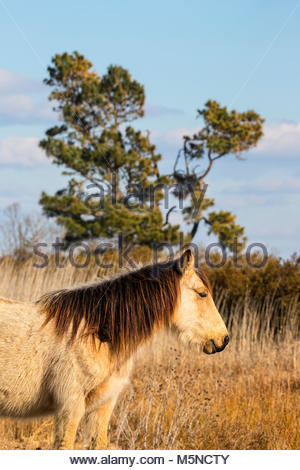 A stallion stands watch over a marsh in the Chincoteague National Wildlife Refuge in Virginia. About 300 wild — - Stock Photo