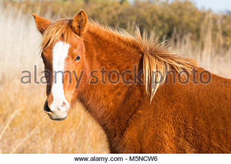 A Chincoteague pony (Equus caballus), also known as an Assateague horse, poses with a wind-blown mane in a marsh - Stock Photo