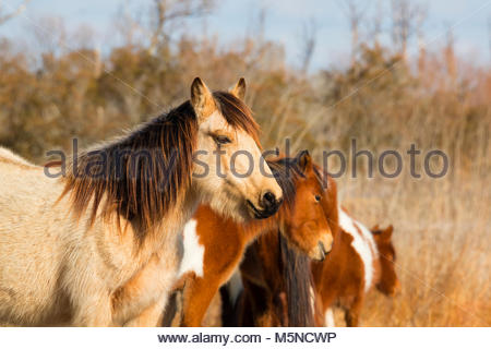 A stallion watches over several Chincoteague ponies (Equus caballus), also known as Assateague horses, in a marsh - Stock Photo