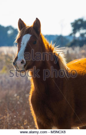 A Chincoteague pony (Equus caballus), also known as an Assateague horse, is illuminated by the first light of day - Stock Photo